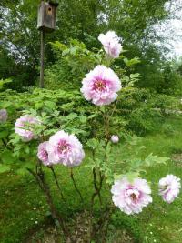Paeonia suffruticosa  'Athlete' - Moutan Peony