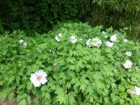 Paeonia suffruticosa  'Blanche de His' - Moutan Peony