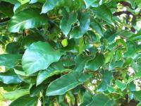 Kwai Muk - leaves